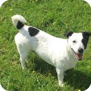 5faa79933d90d9 Jack Russell Terrier Rescue UK - Dogs Looking For Forever Homes